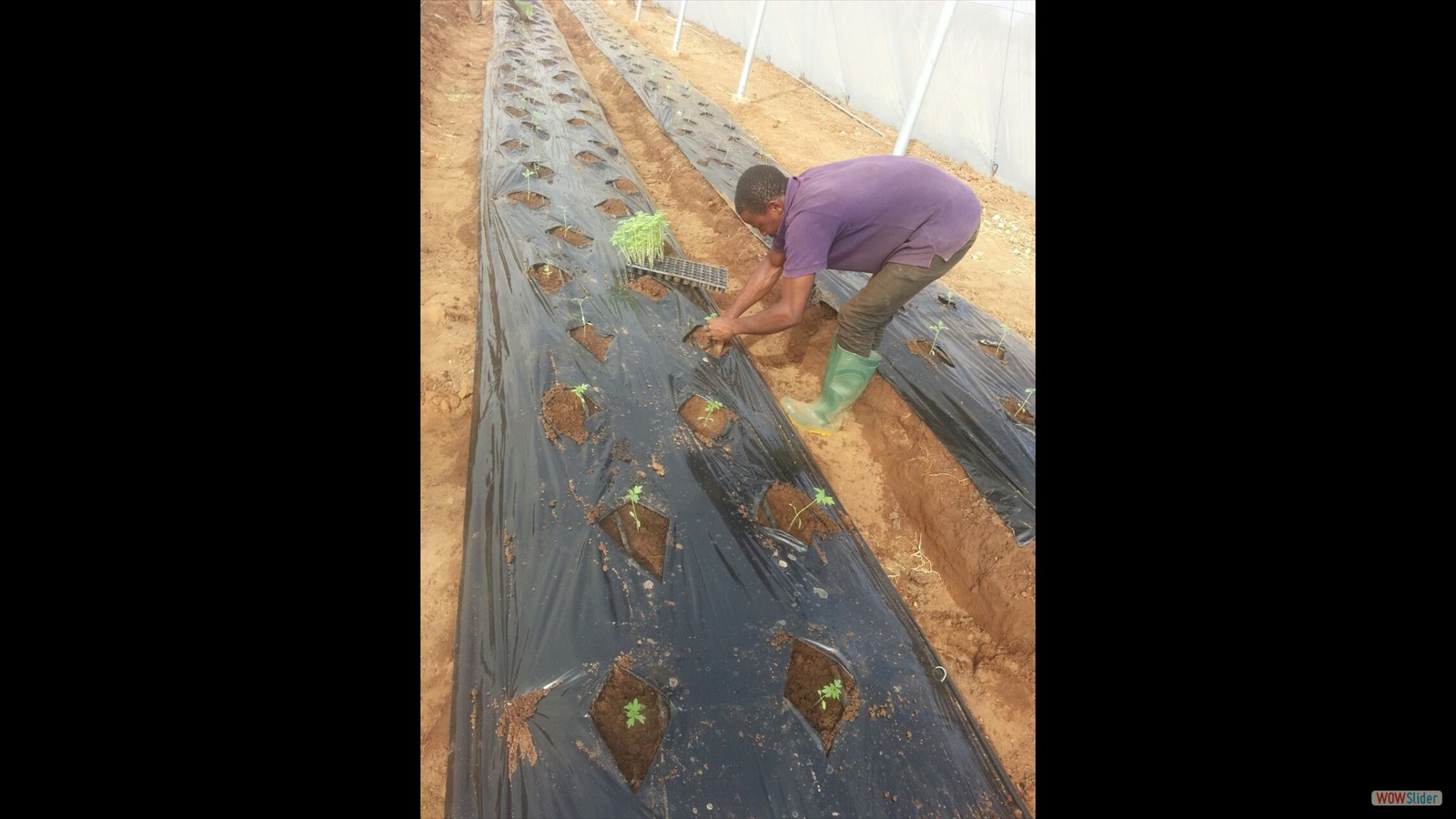 New batch of seedlings  are planted - Dec 2016