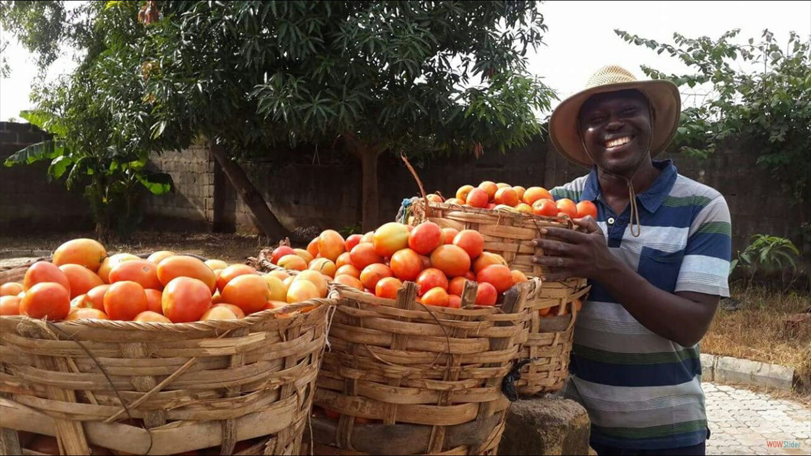 Tomato harvest from
